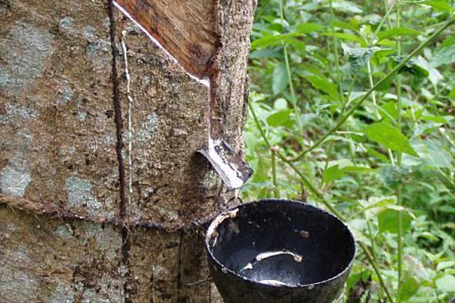 Sri Lanka's rubber production declines for third consecutive year: CB
