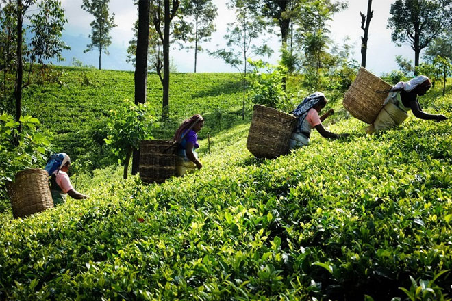 Sri Lanka extends fertilizer subsidy to Tea, Rubber and Vegetables