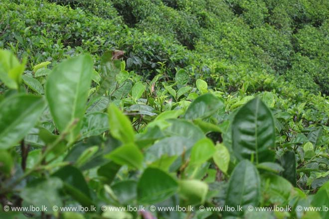 Sri Lanka's tea exports fall for 12th consecutive month