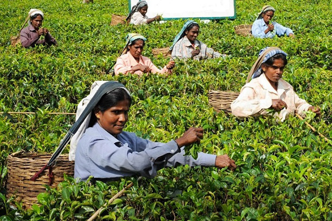 Sri Lanka's 2016 tea production, exports down, revenue up