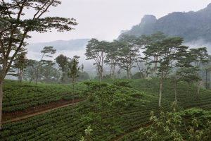 lanka-tea-estate