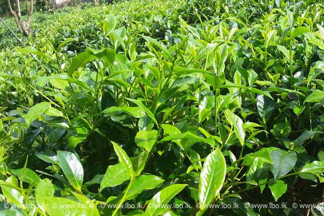 Sri Lanka's Watawala Plantations to separate tea business
