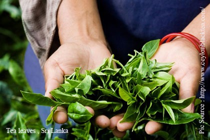 Sri Lanka tea up for third consecutive month in Nov