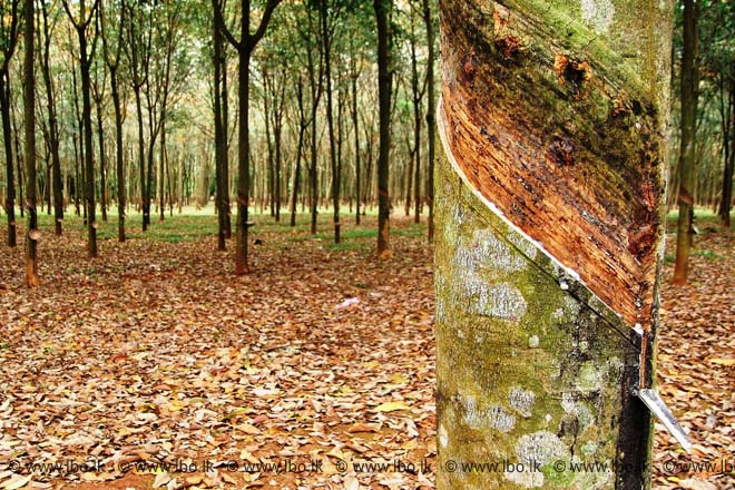 Sri Lanka Govt gives Cabinet nod to increase subsidy for rubber planting