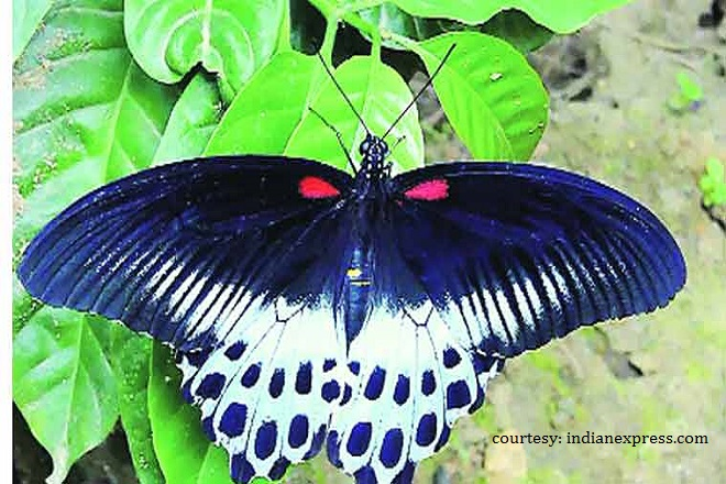Indian state seeks Sri Lanka's help to study Blue Mormon butterfly