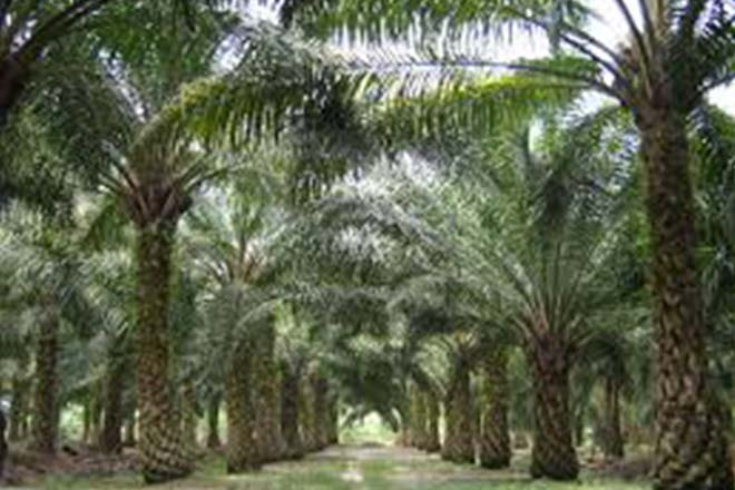 Opinion : Sustainable oil palm central to success of Sri Lanka's plantation industry
