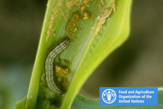 Once established 'Sena' armyworm cannot be practically eradicated: UNFAO