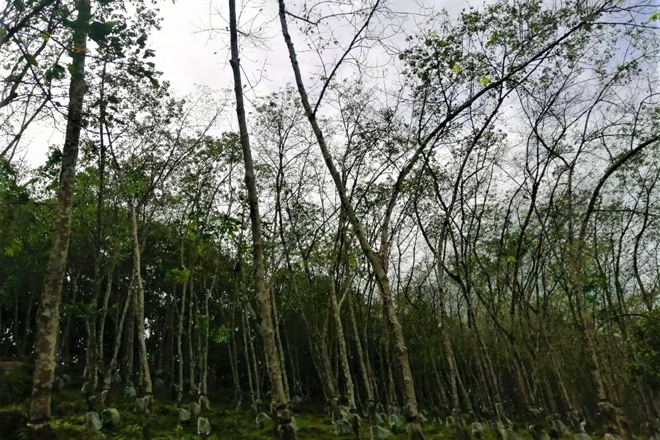 Disease-battered rubber plantations call for govt support to ensure industry's survival